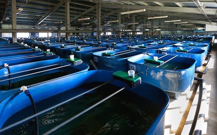 Изображение - Как открыть рыбную ферму и что нужно для этого бизнеса ferma_dlya_osetra