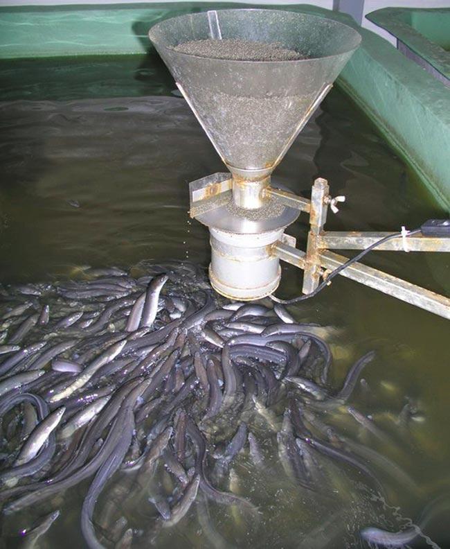Изображение - Как открыть рыбную ферму и что нужно для этого бизнеса kormlenie