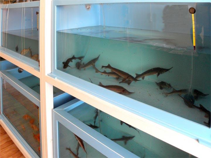 Изображение - Как открыть рыбную ферму и что нужно для этого бизнеса osetr