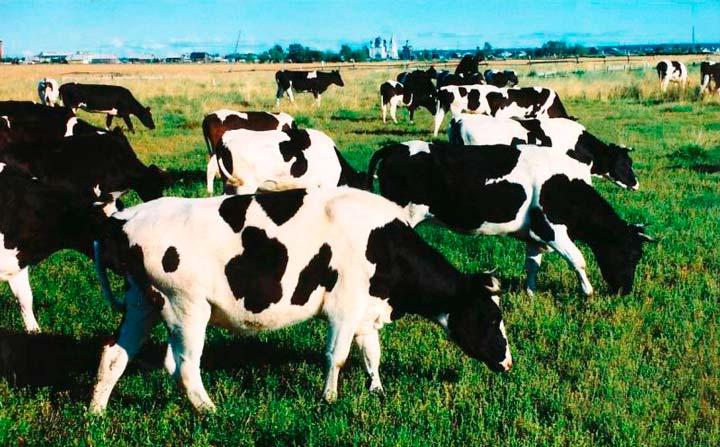 Расчет поголовья коров для молочной фермы