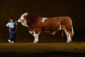 скотоводство молочного направления предполагает наличие всего 600-1200 голов